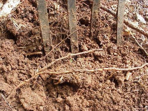 spading fork and roots