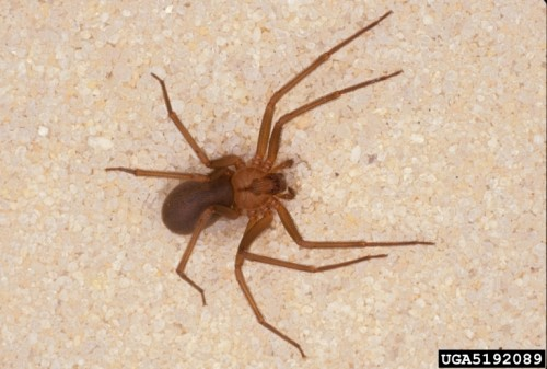Spiders Black Widow And Brown Recluse Walter Reeves