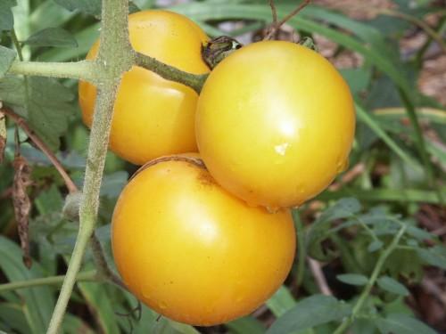 tomato lemon boy