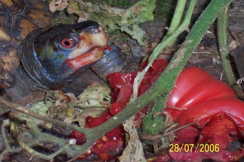 turtle eating tomato 1