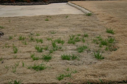 weeds in bermuda