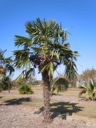windmill palm (2)