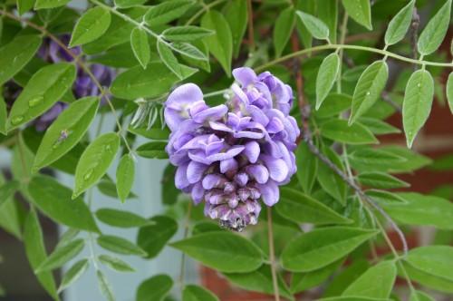 wisteria american 1