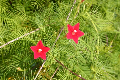 cypress vine flowers
