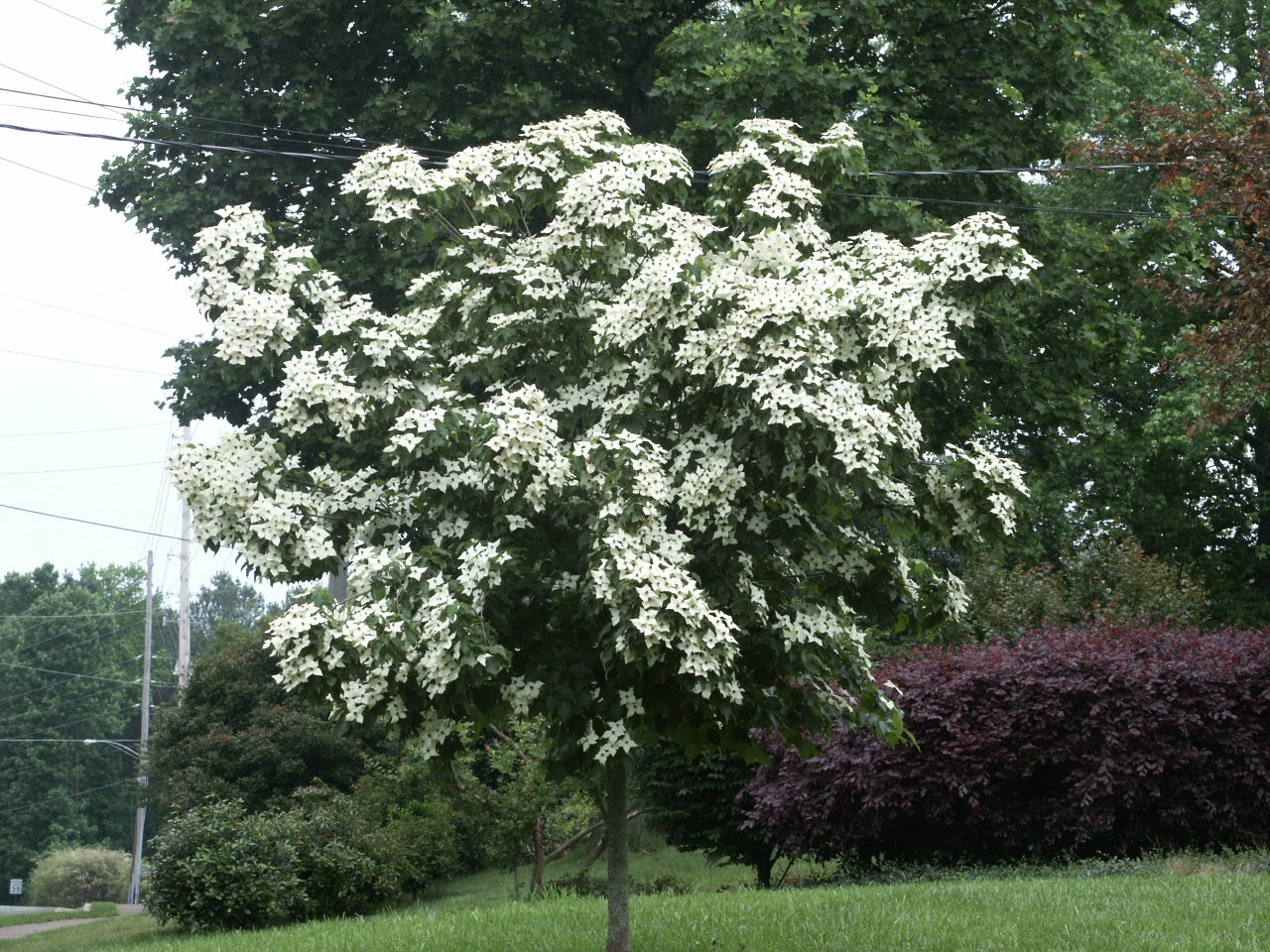 dogwood kousa walter reeves the georgia gardener