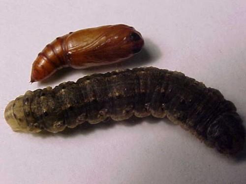 Sod Cutworm Identification 171 Walter Reeves The Georgia