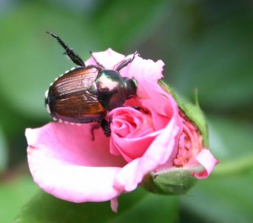 japanese beetle on rose