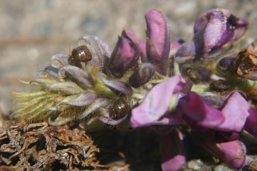 kudzu bug on kudzu flower
