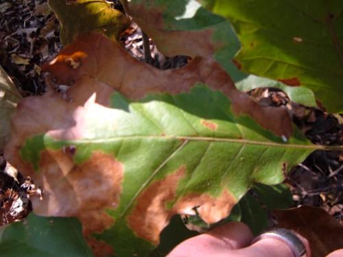 oak bacterial leaf scorch