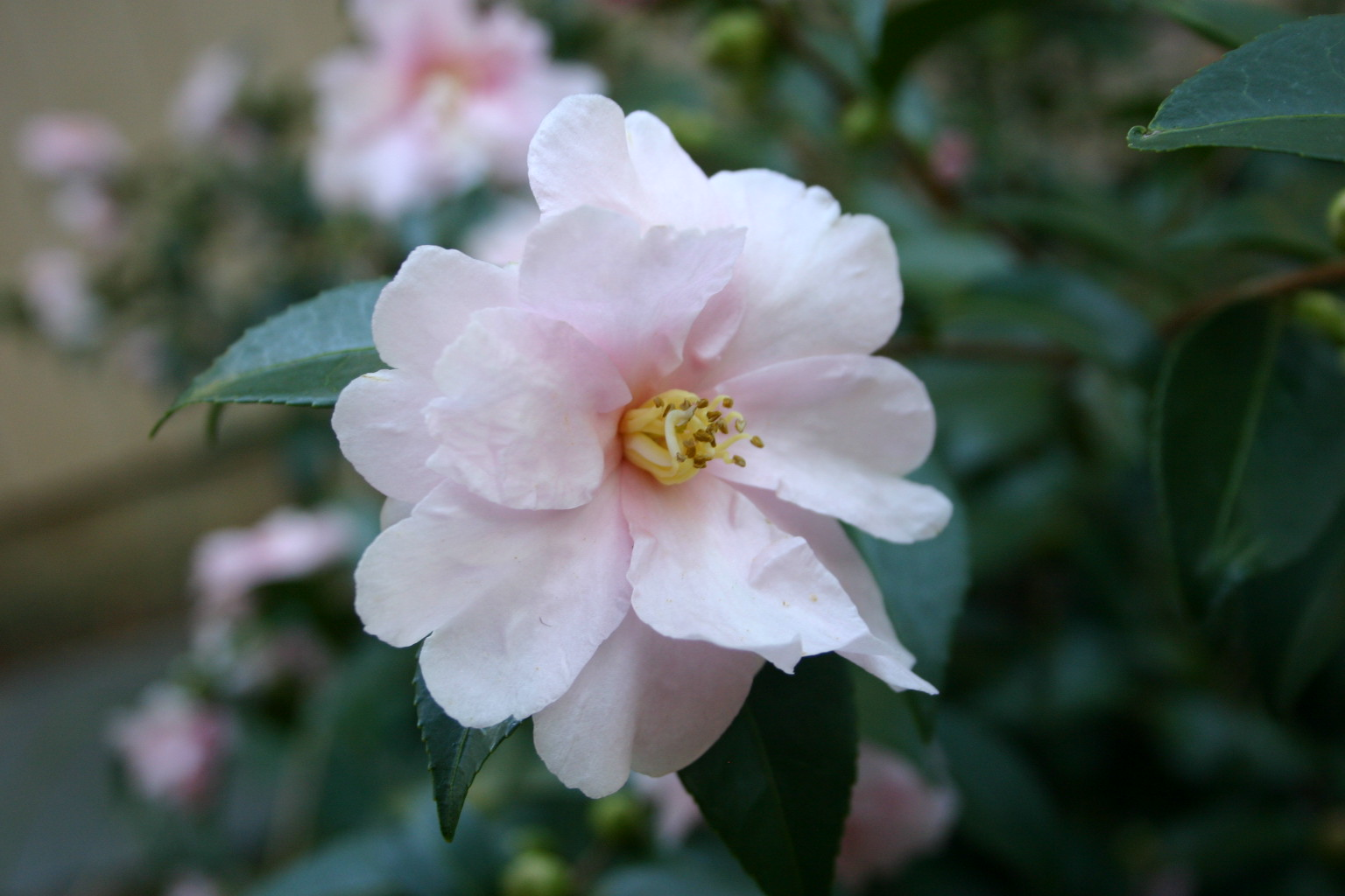 Sasanqua Camellia And Japanese Camellia Identification And Care Walter Reeves The Georgia Gardener