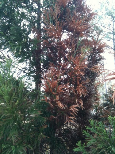 cryptomeria limb dieback