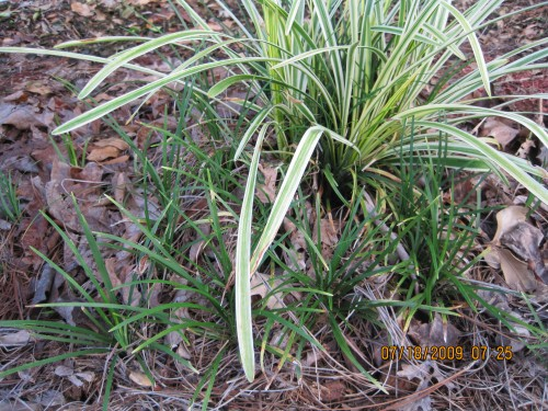 Liriope Vs Mondo Grass Walter Reeves The Georgia Gardener