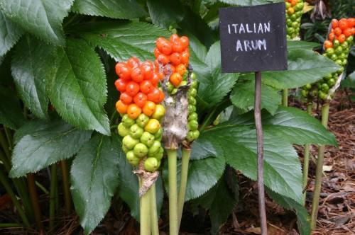 arum seeds
