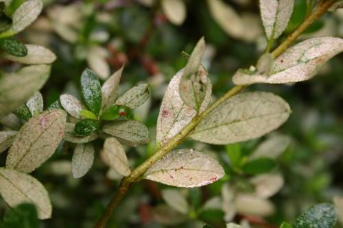 azalea lace bug damage