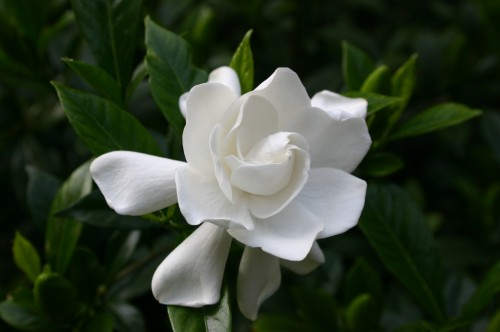 gardenia  varieties  walter reeves the georgia gardener, Beautiful flower