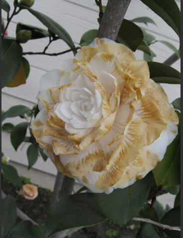 camellia freeze damage