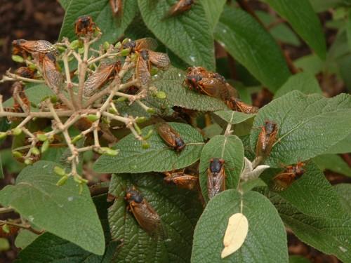 cicadas on tree