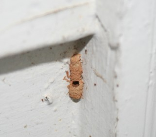 Dirt Dauber Wasp Identification Walter Reeves The