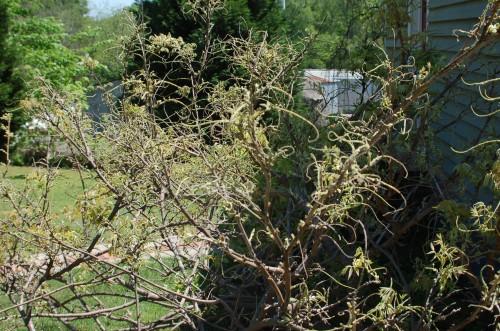 kudzu bug on wisteria