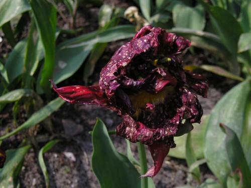 tulip disease 4