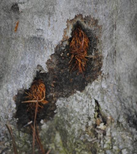 Beech Tree Borer Identification Walter Reeves The