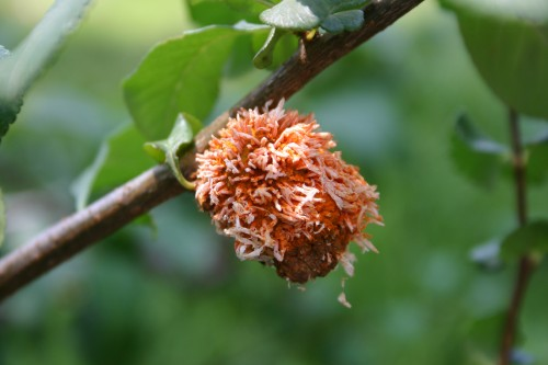 cedar quince rust on pear