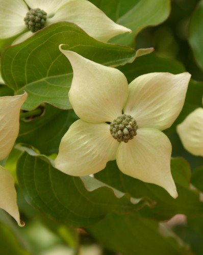 kousa dogwood flower
