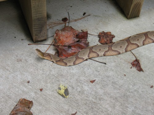 Copperhead Snake Identification 171 Walter Reeves The