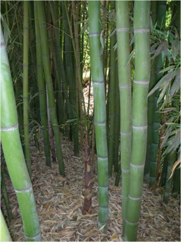 backyard bamboo