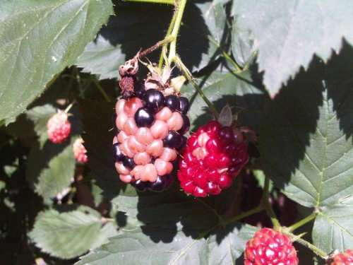stinkbug damage on blackberry