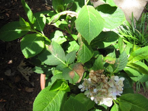 hydrangea insecticide burn on leaves