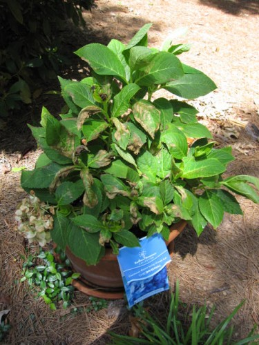 hydrangea � insecticide burn on leaves walter reeves