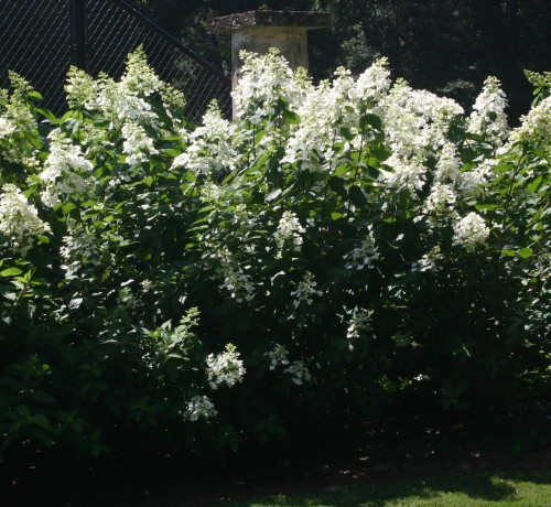 hydrangea 'Floribunda'