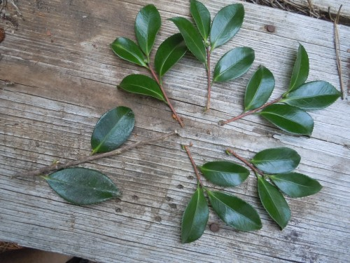 "make several 4"" cuttings from the limb"