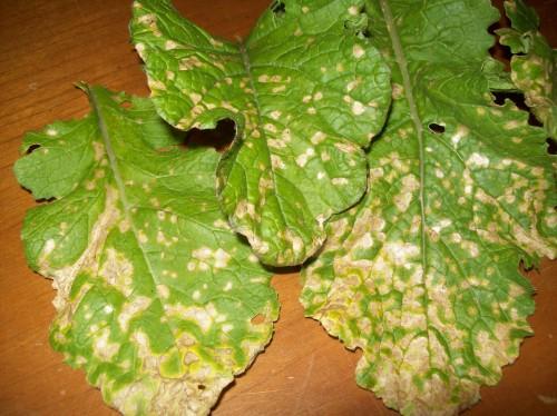 white spot disease on turnip leaf