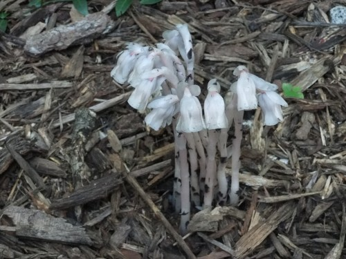 Indian pipe Marston Brown