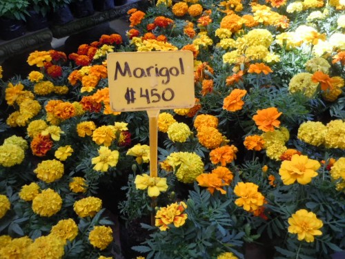 marigolds for sale at a nursery (and only $.90 per pot!)