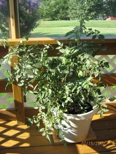 tomato container