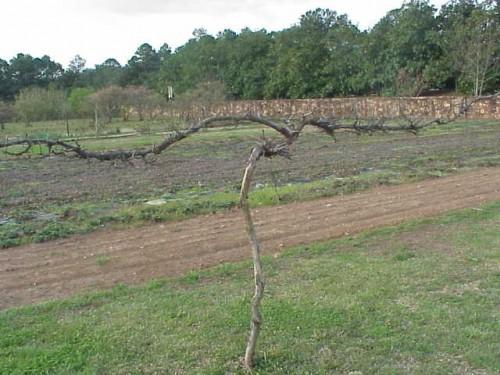 muscadine pruned