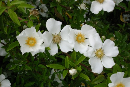 Cherokee rose identification walter reeves the for Cherokee rose