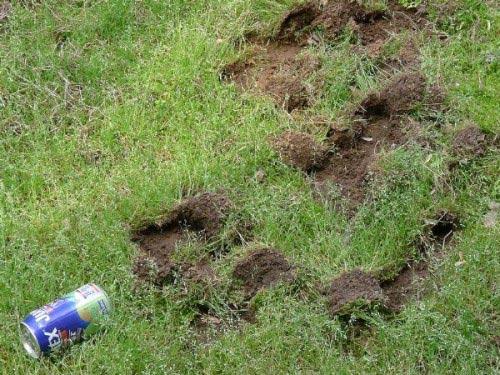 raccoon damage
