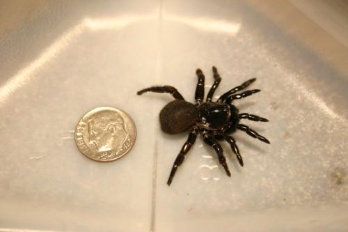 trap door spider & Trap Door Spider \u2013 Identification | Walter Reeves: The Georgia ... Pezcame.Com