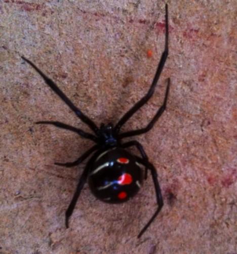 black widow spider - male