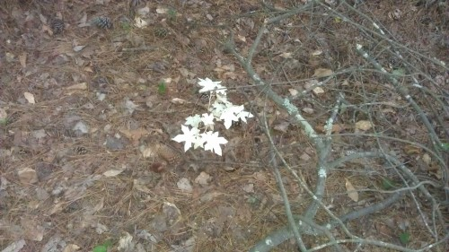albino sweetgum