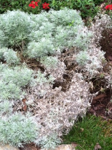 artemesia melting out