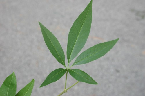 vitex leaf