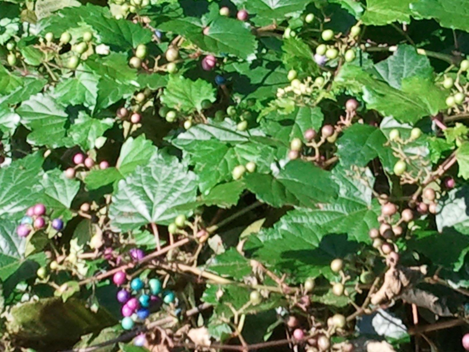 Possum Grape – Identification  Walter Reeves: The Georgia Gardener