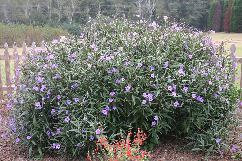 Ruellia Mexican Petunia Invasive
