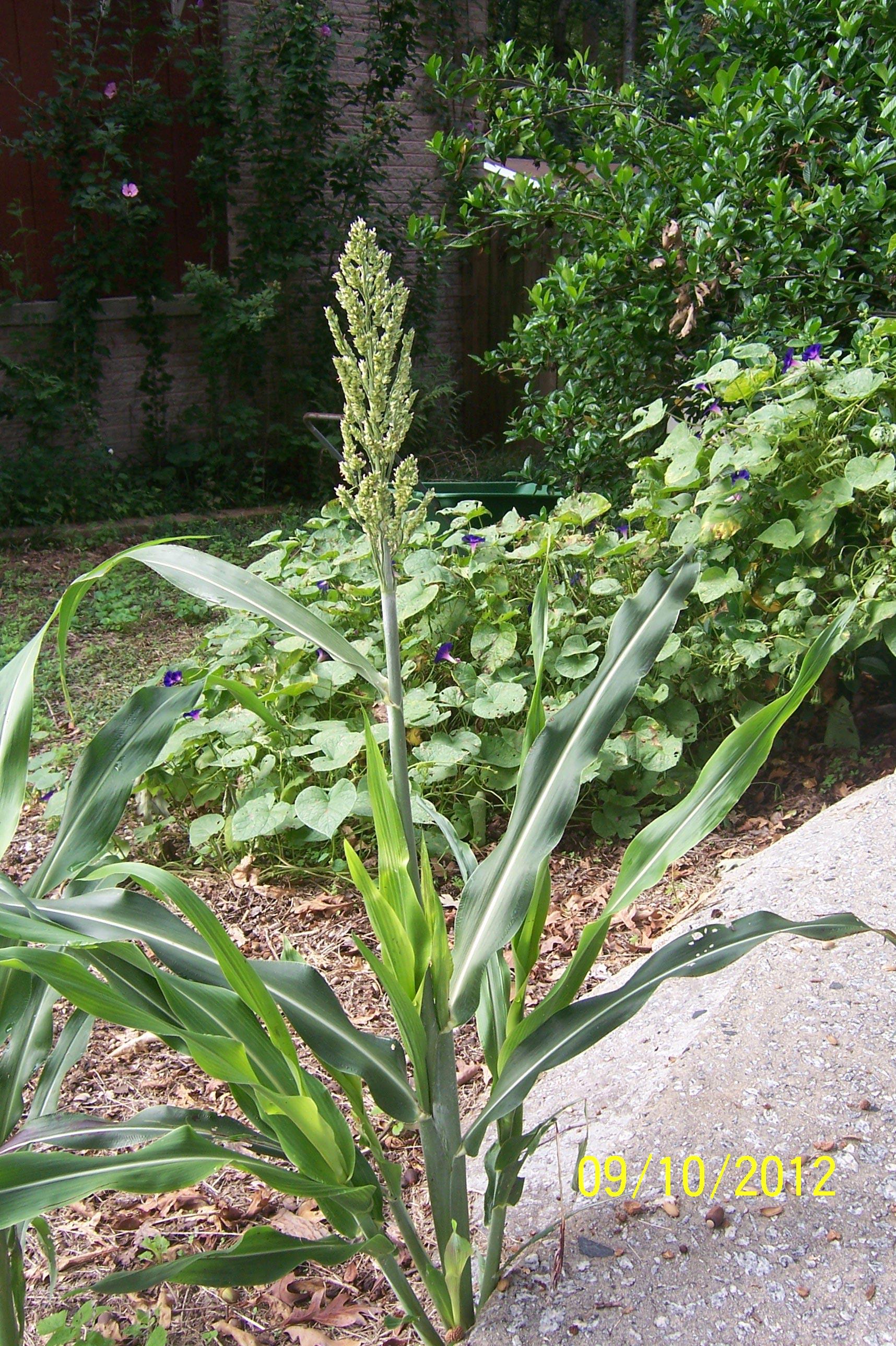 Broom Corn (Sorghum) – Identification | Walter Reeves: The ...