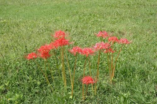 spider lily - Lycoris radiata